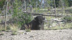 Bison, Copyright Michael Bencik 2010