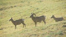 Mountain Goats, Copyright Michael Bencik 2010