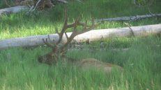 Elk, Copyright Michael Bencik 2010